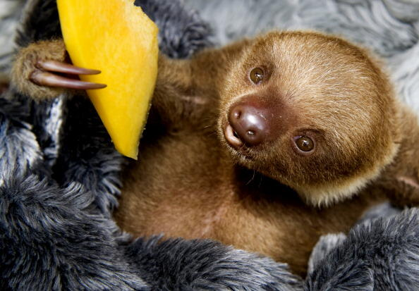 A baby two-toed sloth (Choloepus) eats fruit at the Aiunau Foundation in Caldas,  some 25 km south of  Medellin, Antioquia department, Colombia on September 15, 2012. Croatian scientist Tinka Plese created the foundation 10 years ago, where sloths --which