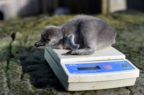 Two-day-old baby Humboldt penguin 'Wotsit' is weighed at the penguin enclosure at Chester Zoo in Chester, north west England on April 5, 2016.  The zoo has had it's first batch of penguins hatch for the year. The four so far are being named after varieties of crisps following a tradition of using a different theme for names each year. So far, Wotsit, Quarver, Cheeto and Frazzle have been born in the past few days. Previous themes have included footballers, British Olympians, chocolate bars and the favourite curry of the keepers. The Humboldt Penguin is native to South America and is among the most at risk of the 17 varieties of penguin around the world.  / AFP / PAUL ELLIS        (Photo credit should read PAUL ELLIS/AFP/Getty Images)