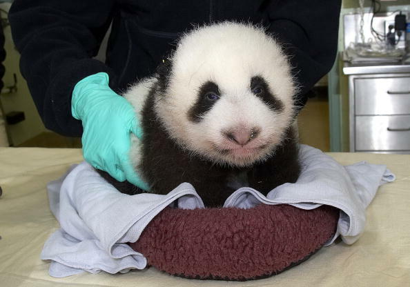 SAN DIEGO, CA - OCTOBER 5:  In this handout image provided by the Zoological Society of San Diego, a nine-week-old female panda cub lies on an exam table at the San Diego Zoo October 5, 2005 in San Diego, California. According to Karen Kearns, DVM, San Di