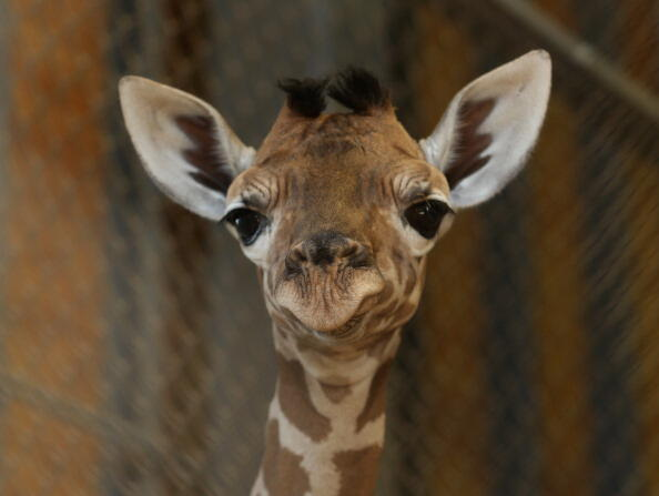 HIMEJI, JAPAN - OCTOBER 16:  An eleven day old newborn giraffe calf looks in his enclosure at Himeji Central Park on October 16, 2013 in Himeji, Japan. The baby giraffe was born on October 5, 2013 and stands over 170 cm tall.  (Photo by Buddhika Weerasing