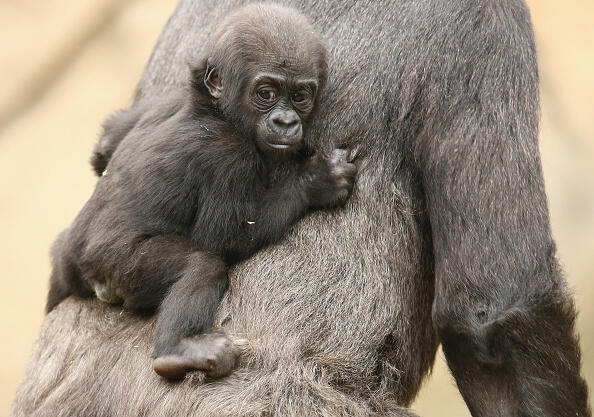 SYDNEY, AUSTRALIA - MAY 19:  Gorilla baby Mjukuu, who was born in 2014, is seen with his mother Mbeli as another yet to be named baby is seen on display at Taronga Zoo on May 19, 2015 in Sydney, Australia.  The newest baby gorilla was born to Western-lowland Gorilla Frala and Silverback, Kibali and at this stage the sex is yet to be determined.  (Photo by Mark Kolbe/Getty Images)