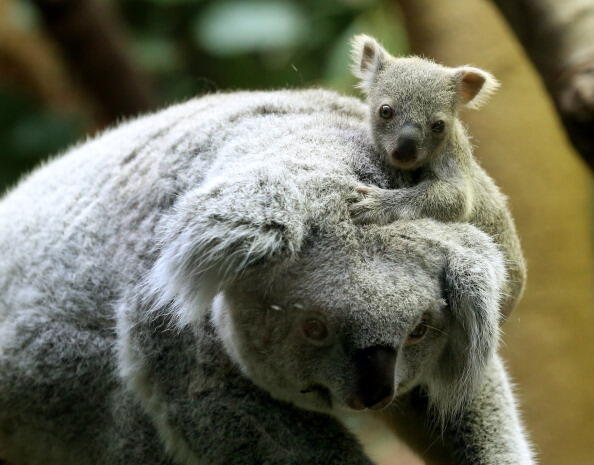 A circa six months old female baby koala sits on her mother's head on January 22, 2014 at the zoo in Duisburg, western Germany. The baby koala was taken out of its mother's pouch for being weighed - it has 350 grams.    AFP PHOTO / DPA / ROLAND WEIHRAUCH / GERMANY OUT        (Photo credit should read ROLAND WEIHRAUCH/AFP/Getty Images)