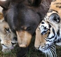 Lion, Tiger & Bear are Best Friends