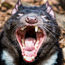 Have Tasmanian Devils Found the Cure for Cancer?