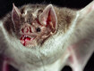 Vampire Bats Now Feasting on Human Blood