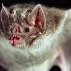Vampire Bats Now Feasting on Human Blood