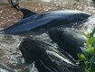 Up to 95 Dolphins Die in Everglades
