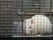 Pet Rats Linked to Outbreak of Rare Virus