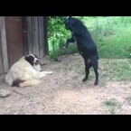 this dog just wants to chill, but the goat...