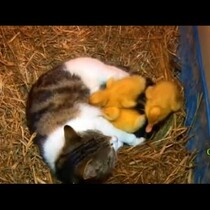 The Cat & the Ducklings?   You Bet!