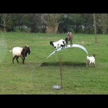 4 Goats and a bendy piece of sheet metal = endless fun!