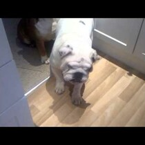 Winston the Dancing Bull Dog