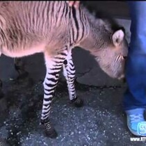 Extremely Rare, Extremely Funny Animal is Born [PHOTO]