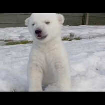 This warm video is enough to thaw you out. First romp in the snow for this polar bear