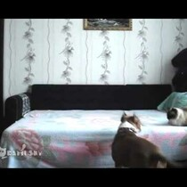 This dog is not allowed on the bed. Watch what happens when his owner leaves.