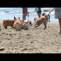 Corgi beach party