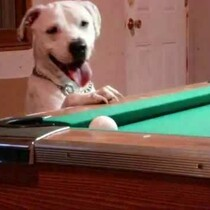 This Dog Is A Real Pool SHARK!