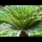 Sago Palm- keep kids and pets away from it!
