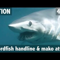 Mako Shark attacks Swordfish!