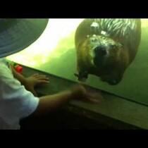 Beaver Waves Back at Kid!
