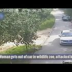 VIDEO: NOOOOOOO WAY!!!! Look how easy the Tiger was able to grab her!!!  Woman mauled by tiger after getting out of car in wildlife zoo....