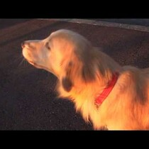 Dog Does Amazing Imitation of a Siren!!