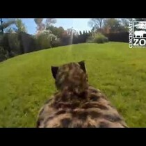 GoPro View From A Cheetah's Perspective
