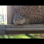 Ha! Chipmunk Gets BUSTED Stealing From Bird Feeder!