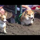 WATCH: Corgi Racing At Canterbury Park