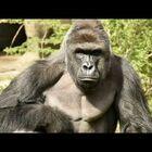 Boy Saved Gorilla Killed At Cleveland Zoo!