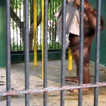 VIDEO: Orangutan swipes a tourist's shirt, puts it on and mocks him