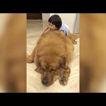 Adorable Little Girl Plays With Giant Tibetan Mastiff