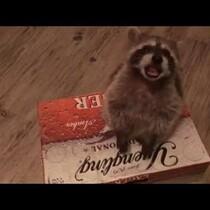 [VIDEO] Cat Isn't A Fan Of Pet Raccoon