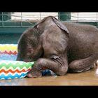 Baby Elephant Enjoys First Kiddie Pool