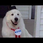 Could a Dog Be Elected President TOO? I mean, Duke Is Already Mayor!