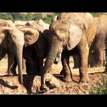 Mother Elephant Rescues Her Calf!