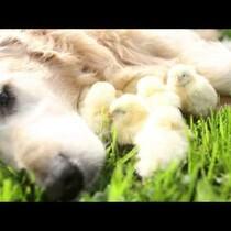 Golden Retriever & Chicks!!