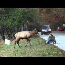 Headbutt Competition:  Elk vs Photographer