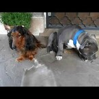 VIDEO: Man Questions 2 Dogs. 1 Dog Hides Behind Other Dog In Guilt.