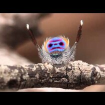 This spider can dance better than you (video)
