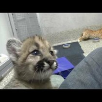 Rescued cougar cubs will fondle your heart and make you squee