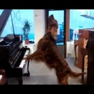 ELMO THE DOG SINGS WHILE PLAYING THREE PIANOS