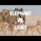 WATCH Elephant takes on 10 lions at once!