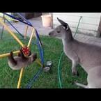 Baby Sloth Meets His Big Brother Kangaroo WATCH