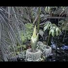 The Corpse Flower bloomed (only 1x every 10 years and smells like death.)