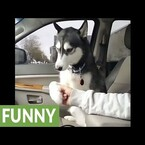 Spoiled Husky DEMANDS Belly Rubs While Owner Is Driving [Video]