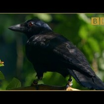 This Crow Is The Smartest Bird You Will Ever See