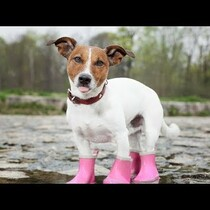 So....Your Dog Doesn't Like To Wear Shoes