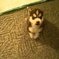 This tiny  8-week-old puppy has learned to sit and speak on command