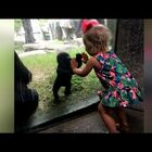 Baby Gorilla And 2 Year Old Play Patty Cake